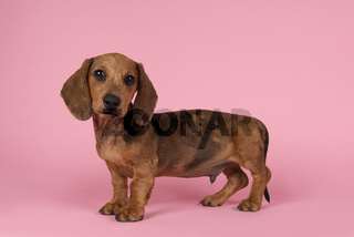 Cute badger dog puppy looking at the camera standing on a pink background seen from the side