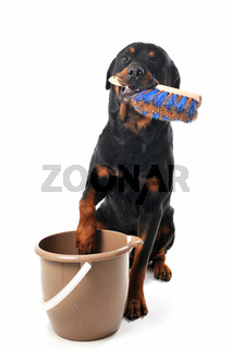 cleaning rottweiler