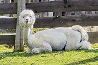 Weisser frisch geschorener Alpaka