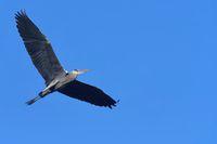Graureiher fliegt
