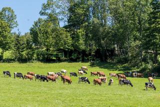 zahlreiche Kühe am Weideland - Fleckvieh und Nutztier