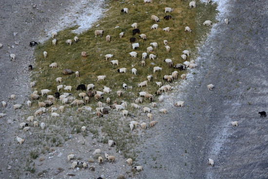 Grazing Sheep at Ladakh, Jammu Kashmir, India