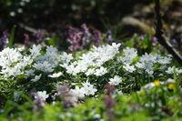 Anemone nemorosa, Buschwindroeschen, windflower