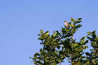 Common Whitethroat (Sylvia communis) perched at the top of a tree in the summer sunshine
