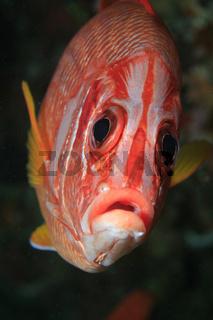 Riesen-Husarenfisch, Sabre Squirrelfish, Sargocentron spiniferum