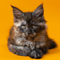 Purebred Maine Cat two months old of color black smoke looks at camera on yellow background. Close-up