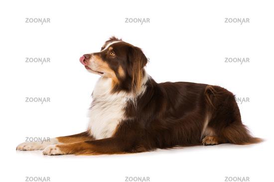 Australian shepherd dog lying isolated on white background