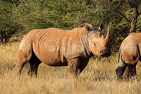 Endangered white rhinoceros (Ceratotherium simum) in natural habitat
