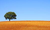Lonely tree at alentejo region, Portugal