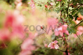 Abstract rose as flower background