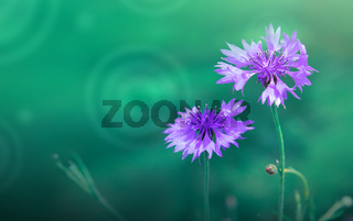 Big cornflowers isolated on blur green background.