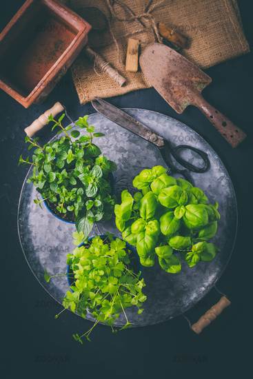 Replanting herbs - plants in pots