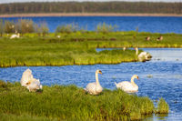 Mute swans on a beach meadow at a lake