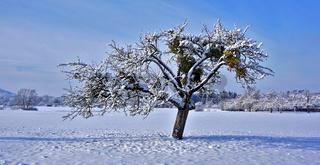 Apfelbaum mit Misteln in Schneelandschaft