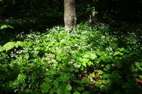 Galium odoratum, Waldmeister, woodruff