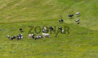 Cattle at Upper Allgaeu