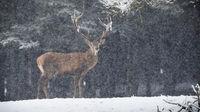 Red deer standing on snowy field in winter snowstorm