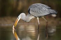 Grey heron catching fish in swamps in spring nature