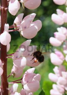 Lupineblüte mit hummel