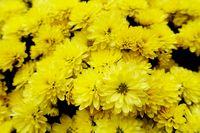 gelb blühende Chrysanthemen-Hybride