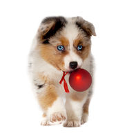 Dog, puppy 8 weeks, Australian Shepherd with Christmas ball in mouth, isolated