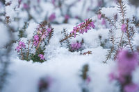 Springtime meeting winter, spring heath covered by fresh snow, Austria