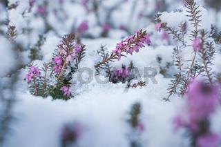 Springtime meeting winter, spring heath covered by fresh snow, Austria