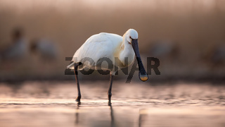 Eurasian spoonbill walking in water in spring sunset