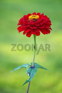 Herbstaster