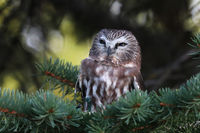 Portrait of a Northern Saw Whet Owl in a tree