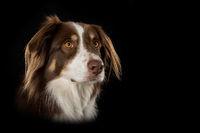 Australian shepherd dog on black background