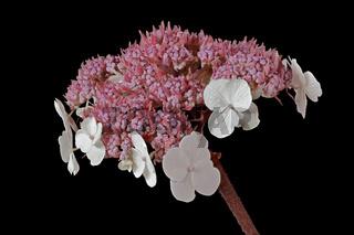 Raue Hortensie (Hydrangea macrophylla)
