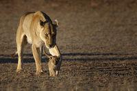 Löwin und Jungtier, Kalahari