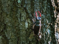 Stag beetle male on the bark of a tree