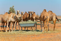 Group of camels at a feeding trough in a rural area of the United Arab Emirates