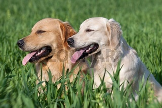 Close Up pair of purebred playful golden retriever dogs outdoors on green grass