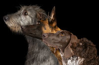 Group side view portrait of four dogs