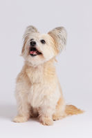 Small mixed breed dog sitting on white background