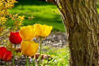 Tulips growing next to a tree trunk in a garden