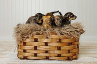 Brown and brindle Jack Russell puppies 6 weeks old on a rug in a basket. Wooden floor and white wooden background. Animal Themes, Selective Focus, Blur