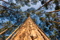 Looking up at trunk of big pine tree amidst forest in beautiful sunlight with detail of bark