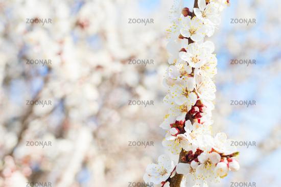 tree spring blossom flowers close-up