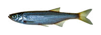 Carp-like freshwater fish cyprinid