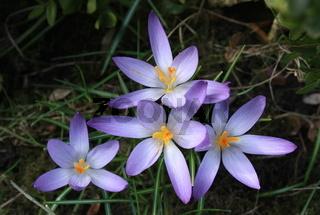 Krokus, lila, Blumendreieck