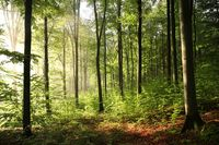 Beech forest during sunrise