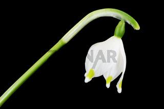 Snowdrop blossom