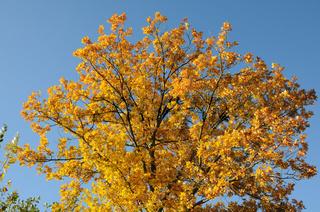 Quercus robur, Stieleiche, German oak, Herbst