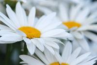 White spring daisies