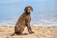 German Short haired Pointer, GSP dog sits on the beach of a lake during a summer day. He looks at the camera, water in background