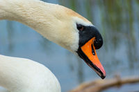 Close-up of the head and neck of a white swan